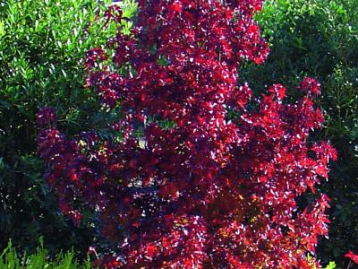 Liquidambar Little Richard