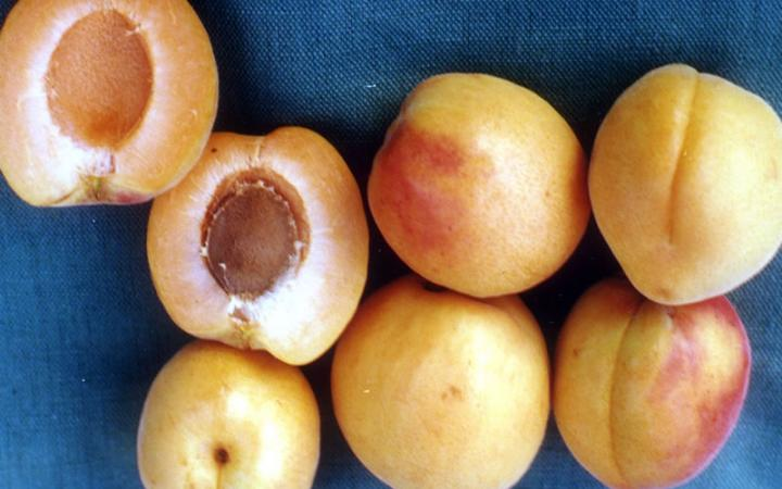 Apricots - Clutha Late