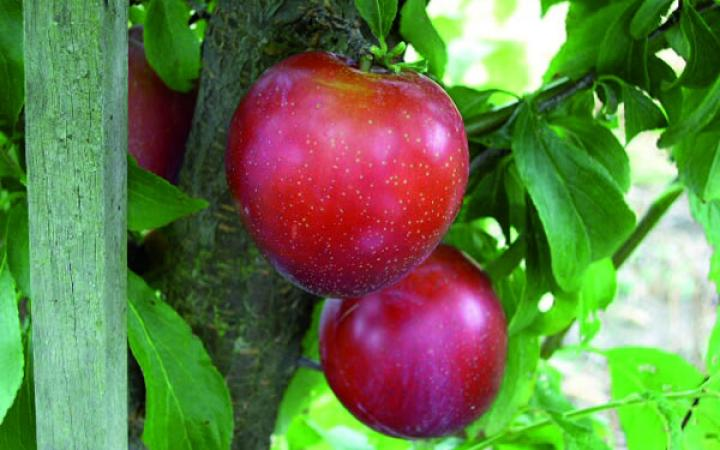 Fruit Trees / Plums / Santa Rosa