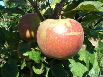 APPLE Splendour