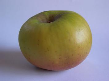 APPLE Sturmer Pippin
